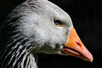 Greylag Goose by Harvey Hudson
