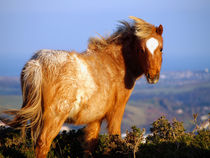 Welsh Mountain Pony by Harvey Hudson