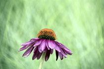 Echinacea von gugigei