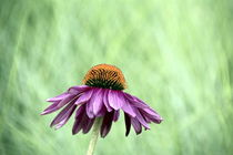 Echinacea by gugigei