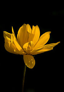 Yellow Coreopsis Flower by Jacqi Elmslie