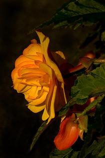 Orange Begonia on black background by Jacqi Elmslie