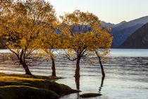 Autumn Trees at Lake Wanaka von Felix Gross