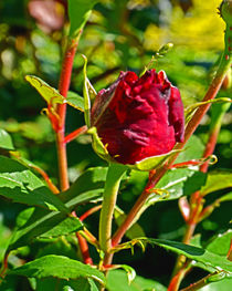 Red Rose by Michael Naegele