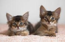 Dsc-7706-dot-somali-kittens1-06-16