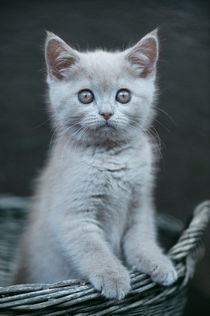Britisch Kurzhaar Kitten / 73 by Heidi Bollich