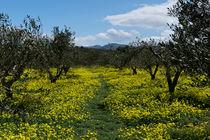 Zwischen den Olivenbäumen von Markus Hartung