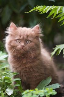 Britisch Langhaar Kitten / 4 von Heidi Bollich