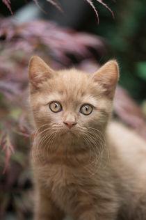 Britisch Kurzhaar Kitten / 78 by Heidi Bollich