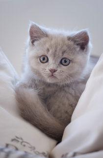 Britisch Kurzhaar Kitten / 77 by Heidi Bollich