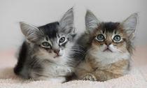 Somali Kittens / 2 von Heidi Bollich