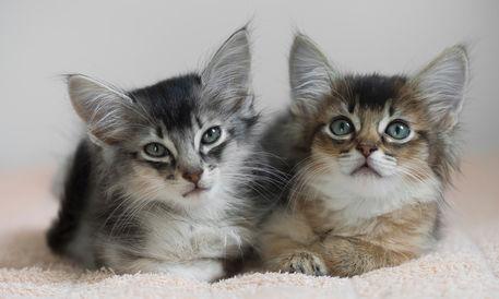 Dsc-7838-dot-somali-kittens3-06-16