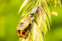 Marienkäferlarve an Grashalm von toeffelshop
