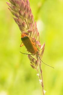 Roter-fliegenkaefer-an-grashalm-2