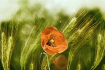 Roter Mohn im Getreide by Chris Berger