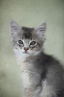 Somali Kitten / 21 von Heidi Bollich