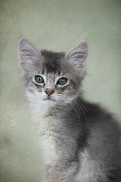 Dsc-6877-dot-t-somali-kitten9-06-16