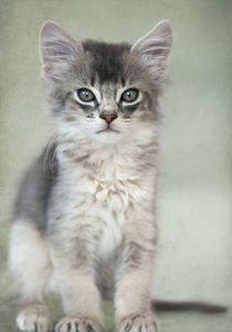 Somali Kitten / 22 by Heidi Bollich