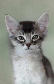 Somali Kitten / 20 by Heidi Bollich