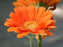 oranger Blumengruß by Zarahzeta ®