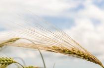 Barley von Jeremy Sage