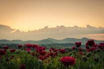 Mohnblumen beim Sonnenaufgang von Frank Landsberg