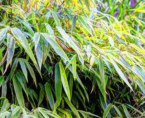 Bambus by Frederik Soepenberg