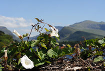 Wild-bindweed-in-snowdonia