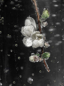 sparkling drops - Quittenblüte von Chris Berger