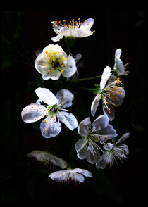 Cherry Blossom dark by modartisto