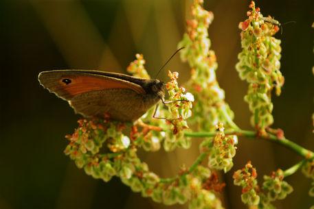 Schmetterling-auf-sauerampfer