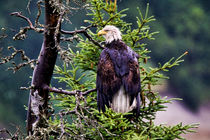 Bald Eagle Up In A Tree by Amber D Hathaway Photography