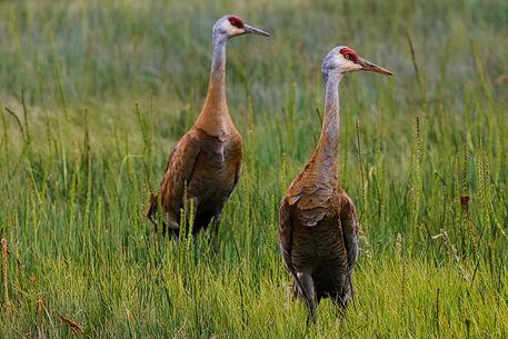 Pair-of-sandhill-cranes-1-of-1