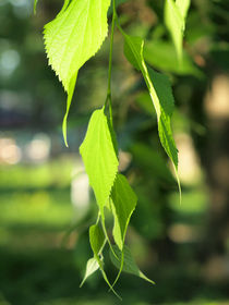 Green birch branch with leaves closeup von Vladislav Romensky