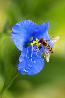 'Schwebfliege auf der Blüte' von Bernhard Kaiser