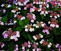 voller Hortensie Hydrangea Strauch von Martina Lender-Frase