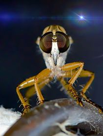 Robber Fly in the moonlight by Michael Moriarty