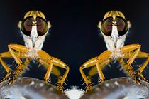 Robber Flies Mirrored Image by Michael Moriarty