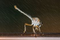 Robber Fly in the rain by Michael Moriarty