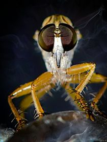 Smokey Robber Fly by Michael Moriarty