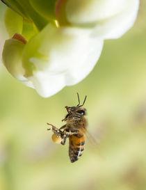 Pollinator on a desert flight von Michael Moriarty