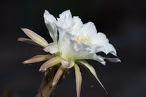 Night blooming Cereus by Michael Moriarty