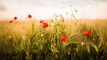 ... poppys von Manfred Hartmann