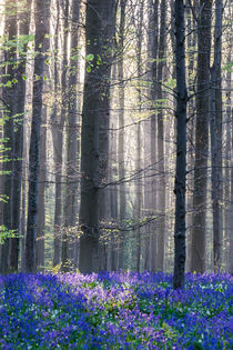 Bluebell woods by Martin Beerens