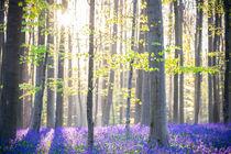 The Hallerbos (Dutch for Halle forest) is a forest von Martin Beerens