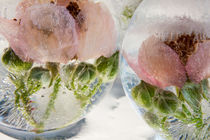 Wild roses II in ice balls 3 by Marc Heiligenstein