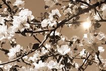 Apfelblüten in sepia mit Sonne von fotowelt-luebeck
