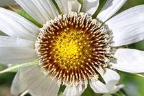 Berkheya cirsiifolia by Bernhard Kaiser