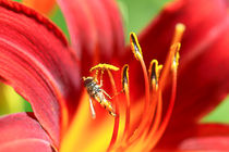 'Taglilie und Schwebfliege' von Bernhard Kaiser