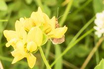 Brauner Falter hinter gelber Blüte von toeffelshop